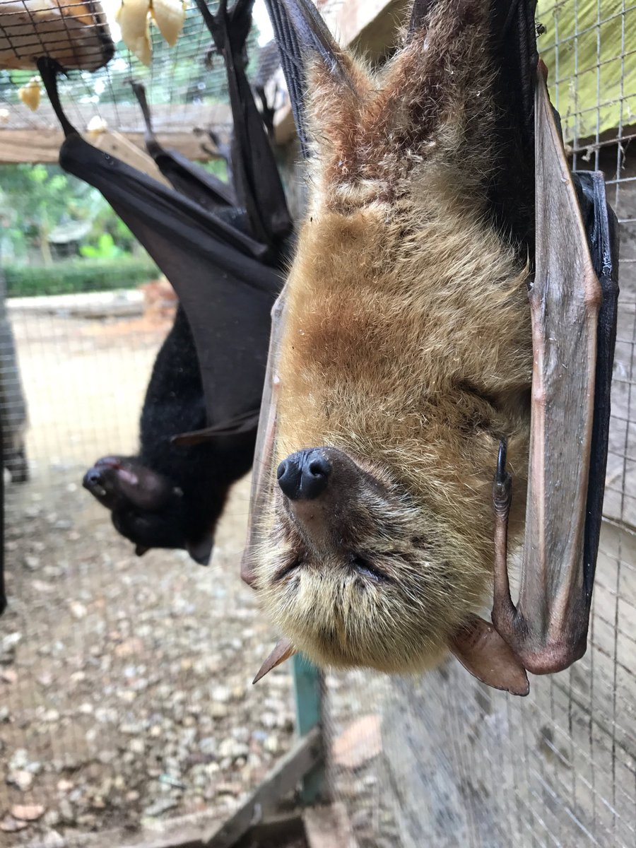 Bats in Indonesia
