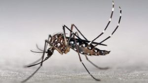 The Aedes aegypti is a common vector for disease spread.