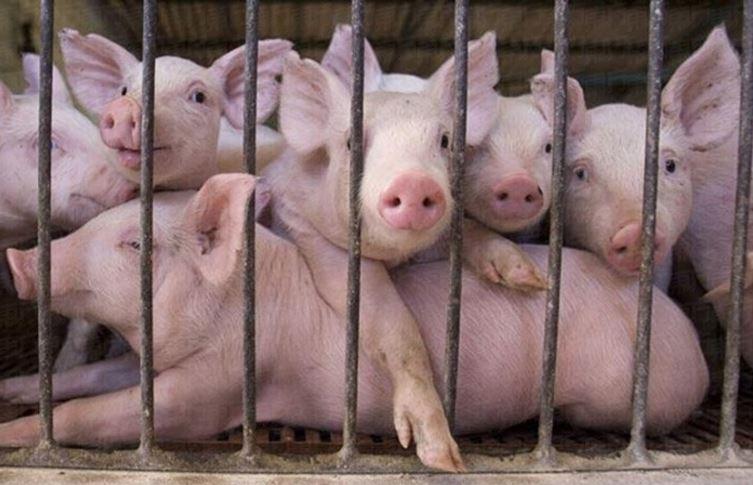 Pigs in Malaysia