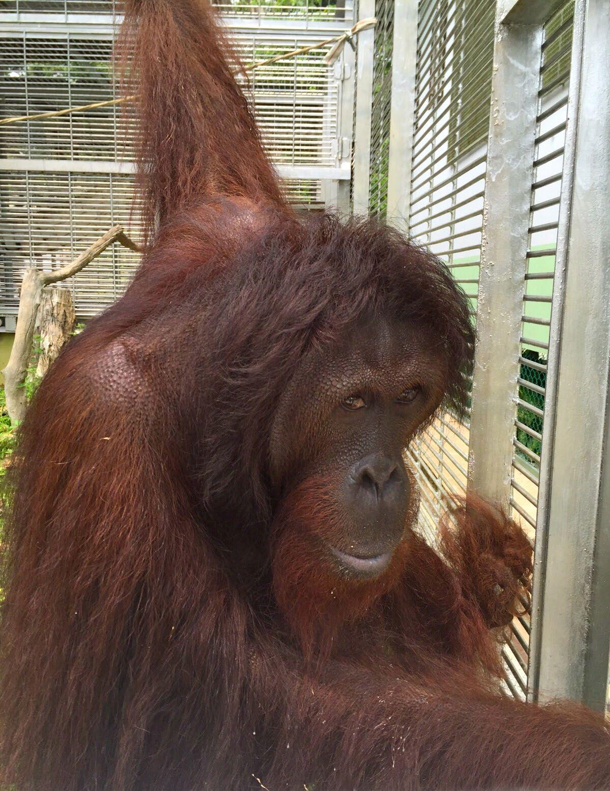 Tiger at the Sepilok Orangutan Rehabilitation Centre